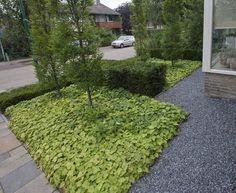 taxusblokken en bodembedekkers (Tiarella cordifolia) zorgen voor contrast met zuilbeuken voor de hoogte.
