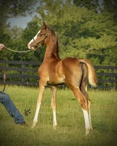 A young American Saddlebred