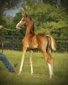 A young American Saddlebred
