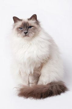 Sacred Birman Cat With Blue Eyes Photography By Maria R