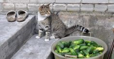 """I've been approached by several people about the """"cats and cucumbers"""" craze. People think this is funny. I saw the videos, they're not funny, they're cruel. Cats And Cucumbers, Cat Gif, Funny Cats, Thinking Of You, Pets, Ethnic Recipes, Fungi, Videos, Food"""