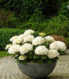 Fotogaléria - Modré, biele, ružové, ale aj fialové hortenzie si získali moje srdce! Takto vyzerá moja záhrada dnes, keď ich mám vysadené všade okolo
