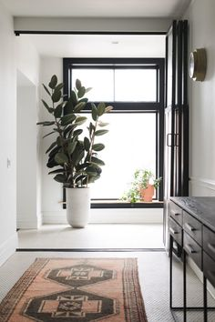 Rubber Plant in tall planter next to a large window with vintage coral rug