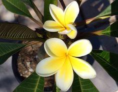 Pacific Pearl Plumeria