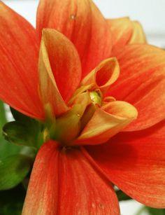 Oranje bloemkelk