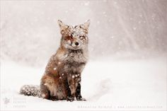 Zen Foxes; happy, chilling, comfortable foxes, just being at ease