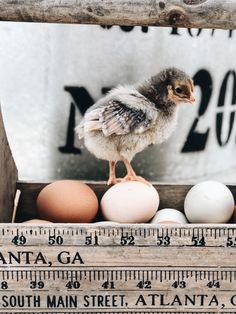 Azure Farm is located near the tiny town of Adairsville, Georgia. Join Annette for daily adventures in homestead living, gardening, recipes and lots of fun in the weekly podcast. Baby Chickens, Chickens Backyard, Farm Photography, Animal Photography, Wyandotte Chicken, Farm Animals, Cute Animals, Nesting Boxes, Amazing Adventures