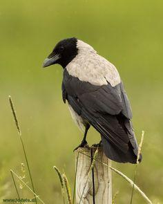 Gråkrage -  Hooded crow, Hårlev 18-09-2014 Fugleognatur.dk
