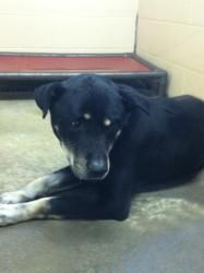 Lj - HELP ASAP - he is getting depressed is an adoptable Rottweiler Dog in Pikeville, KY. Adoption fee is $50! This fee covers spay/ neuter ,first set of shots, first de-worming, Pike County dog tag a...