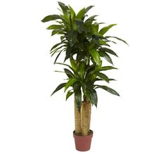 We need another cornstalk plant in our next home. Our next home therefore needs southern exposure.