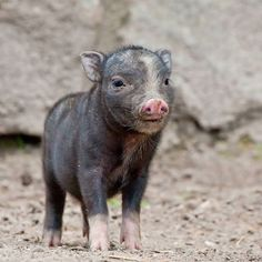 Baby pot belly pig :)
