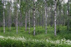 Istutettu koivikko - metsä metsänhoito koivu puu puut koivikko koivumetsä koivumetsikkö puulajit metsänistutus kesä    harvennus harvennettu kesämaisema kesäinen Betula pendula metsämaasto rauduskoivut rauduskoivikko rauduskoivu