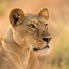 Photo »lioness portrait« by Daniel Schuhmacher on 500px