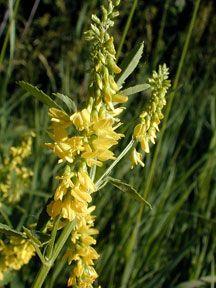 Kansas Wildflowers and Grasses - Yellow sweet clover
