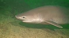 6 gill shark - Bing Images