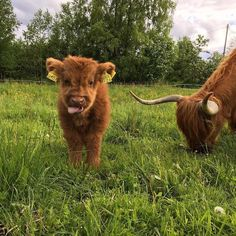 You wouldn't normally call a call warm and fuzzy, but Highland cattle are different. See adorable photos of a the Highland cattle calf! Cute Baby Cow, Baby Cows, Cute Cows, Baby Elephants, Fluffy Cows, Fluffy Animals, Cute Little Animals, Cute Funny Animals, Funny Cats