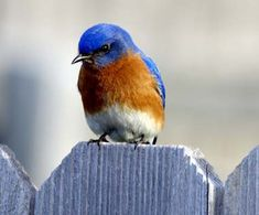 The lovely red, white, and blue Eastern bluebird (Sialia sialis) was designated the State bird of New York in 1970. The bluebird's song is a rich warbling whistle broken into short phrases (Tu-wheet-tudu) or a dry chatter.