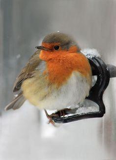 File:European Robin (Erithacus rubecula) In The Snow. Cute Birds, Pretty Birds, Small Birds, Little Birds, Colorful Birds, Beautiful Birds, Animals Beautiful, Robin Vogel, Animals And Pets