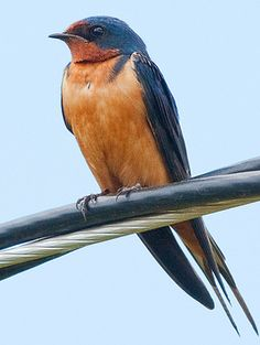 Beautiful Barn Swallow © Raymond Lee, Parkland County, Alberta, Canada, June 2010, http://www.flickr.com/photos/raymklee/4684408392/in/photostream/