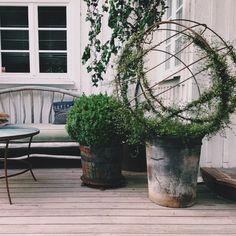 Instagram media by victoriaskoglund - Om ni har för lite att göra en söndag.. så kan ni köpa ett runt järnklot. Sätt den på en kruka med växten 'Plättar i luften'. Trä upp alla rankorna. Obs! Varje ranka för sig..det tar några timmar. Närmare bestämt tre timmarEtt tips för den tålmodige! #trädgårdsmästare #värdenfetkanelbulle