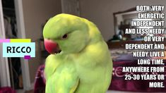 The pros and cons to owning a Indian Ringneck parrot. (Includes subtitles) - YouTube Bird Toys, Cat Toys, Parrot, Indian, Youtube, Parrot Bird, Youtubers, Youtube Movies, Parrots