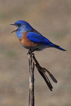 Western Bluebird - Near North Richmond, California.
