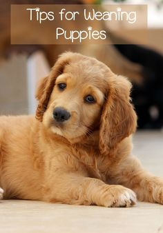 It's important to know what and when to feed weaning puppies. Starting at about one month old, weaning puppies need a special mix of solid food ✿⊱╮