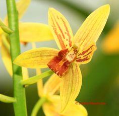 Thai Orchid Hybrid Grammatocymbidium Pakkret Adventure