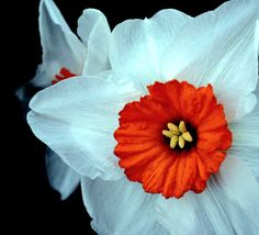 The Barrett Browning daffodil – also known as Barrett Browning Narcissus – is a small cupped daffodil that produces a stunning orange/red center framed by ivory white petals. Best Man's boutonniere