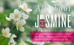 The aroma and influence of Jasmine essential oil are as delicate and lovely as the plant itself. Find out more with these fun facts and usage tips!