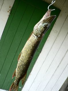These are the Best Northern Pike Fishing Tips to help you make the most out of northern pike fishing in the spring. Use these tips to improve for the year. Pike Fishing Tips, Walleye Fishing Tips, Best Fishing, Trout Fishing, Fishing Stuff, Fishing Bait, Saltwater Fishing, Fishing Poles, Fishing Life