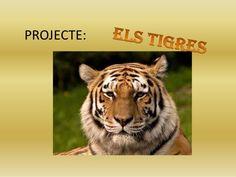 Projecte els tigres