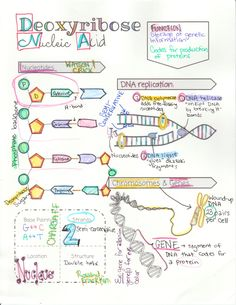 biology classroom DNA Structure, Function and Replication Doodle Notes Biology Revision, Study Biology, A Level Biology, Biology Lessons, Ap Biology, Molecular Biology, Teaching Biology, Science Biology, Life Science