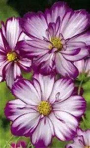 Purple Cosmo Flowers