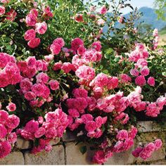 'Petal Pushers' ~ A groundcover rose with clusters of hybrid tea-form roses of bright pink, excellent for cutting. One of the longest-blooming roses.