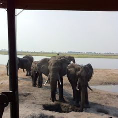 Botswana #Okavango_Delta #Elephants