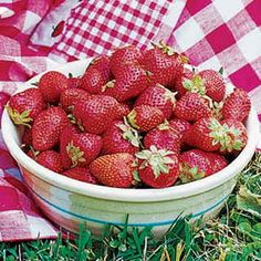 Mesabi strawberry: A June-bearing strawberry for northern gardens with fragrant, delicious fruit on superbly disease-resistant plants. A joint introduction from the US Department of Agriculture and the University of Minnesota.