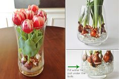 While tulips naturally grow in rich soils, try these tulip growing tips to bring tulips to bloom inside the home. No dirt required!
