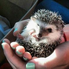Who ever said hedgehogs aren't cuddly? Awww I miss my little Howie RIP little buddy, you were literally the nicest animal I have ever met.