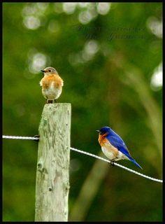 "Photo ""MrandMrsbluebird"" by prairie.  Little Birds photo contest.  #photography #photocontest #birds"