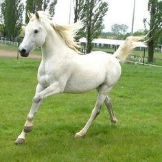 The Arabian horse. Gorgeous!