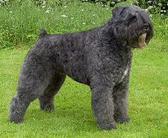The Bouvier des Flandres is a herding dog breed originating in Flanders. They were originally used for general farm work including cattle dr...
