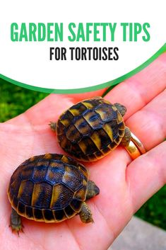 Keep your pet tortoise safe this summer with these care tips for free-ranging tortoises. Tortoise Food, Tortoise Habitat, Baby Tortoise, Tortoise Care, Sulcata Tortoise, Russian Tortoise, Pet Travel, Tortoises, Safety Tips