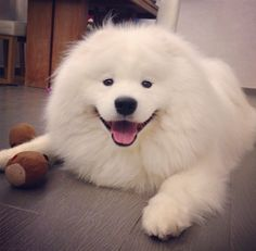 A ridiculously fluffy and happy samoyed