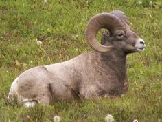 Mountain Sheep chills in the Canadian Rockies.