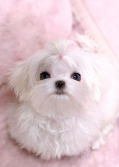 Maltese. This face reminds me of one of those stuffed dogs you would put on your bed in the 60s.