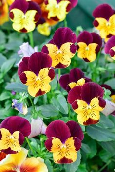 50 YELLOW /& BROWN PANSY VIOLA Violet Flower Seeds Gift /& Comb S//H