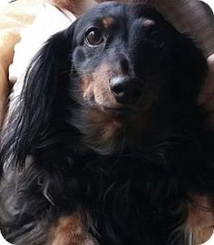 Portland, OR - Dachshund. Our sweetest little cutie patootie (see that smile?), Ms. MISSY is a long hair, 16.5 pound Black and Tan Dachshund. Although she is experiencing some sadness in her life right now, she continues to bring joy to everyone who meets her. Here is her message to you (for you Nat King Cole or Natalie Cole fans, this will be familiar):