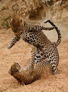 A Male and Female Leopard fight after mating.  it looks like he's about to box her ears like a cymbal banging monkey toy lol