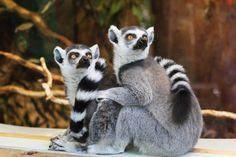 lemur, pareja, cola, reticulado, cara, asombro - Fondos de Pantalla HD - professor-falken.com